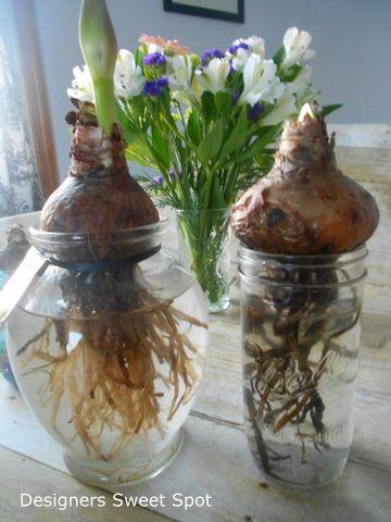 Hometalk Growing Amaryllis In Water