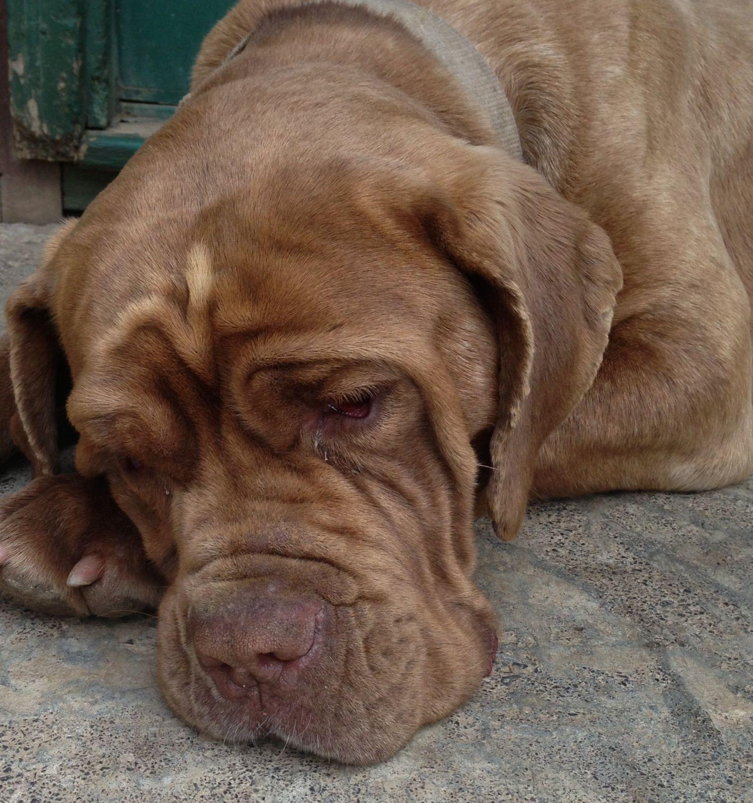 Our Mahogany female Neapolitan mastiff