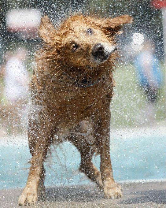 Golden Retriever Shake It Off Dog Shaking Pound Puppies