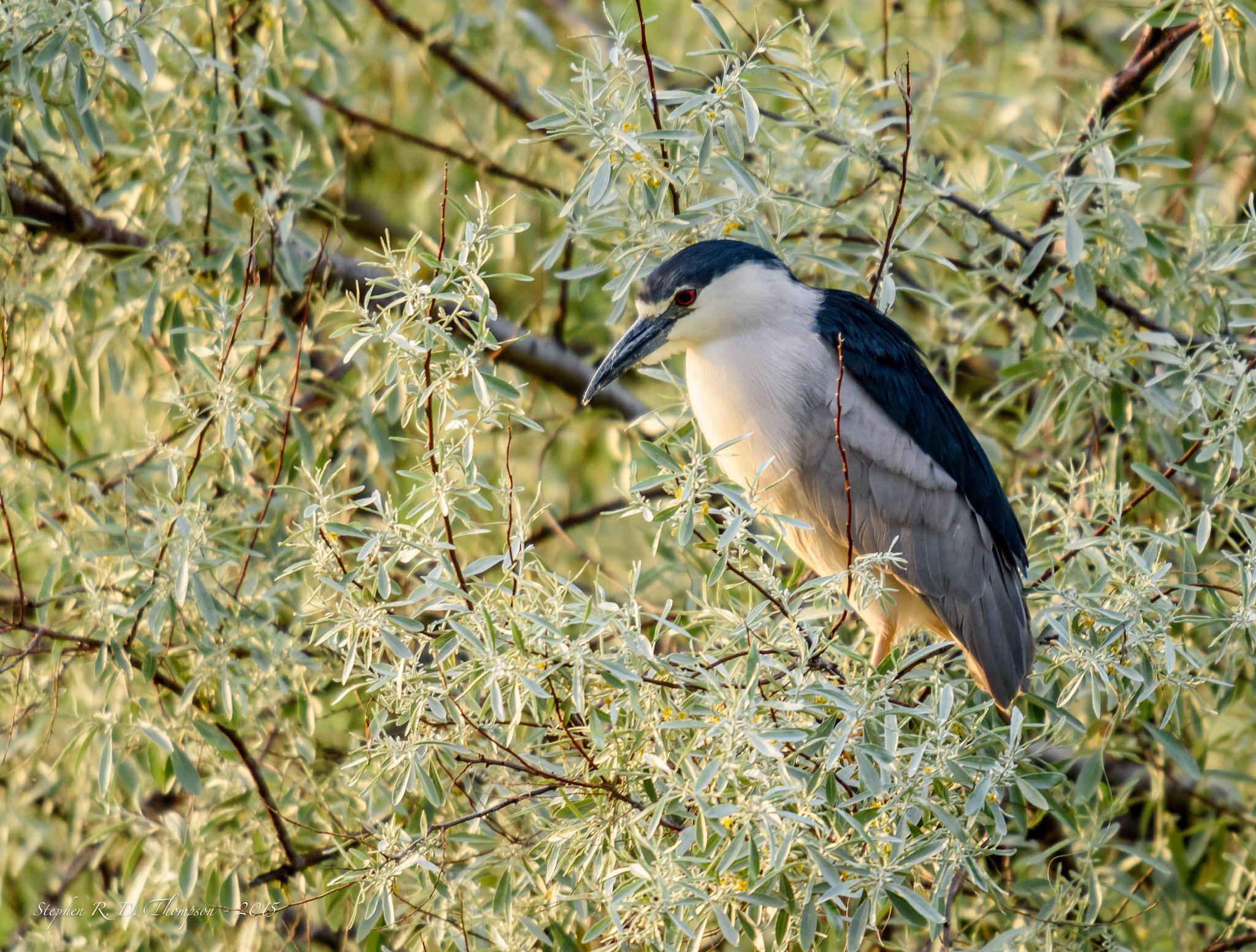 Blackcrowned nightheron heron black night