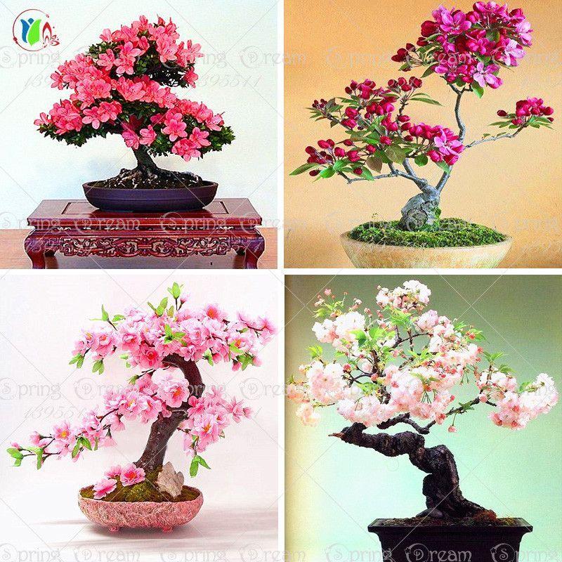 10pcs Lot Japanese Sakura Seeds Bonsai Flower Cherry Blossoms Ornamental Plant Ornamental Plants Japanese Bonsai Bonsai Flower
