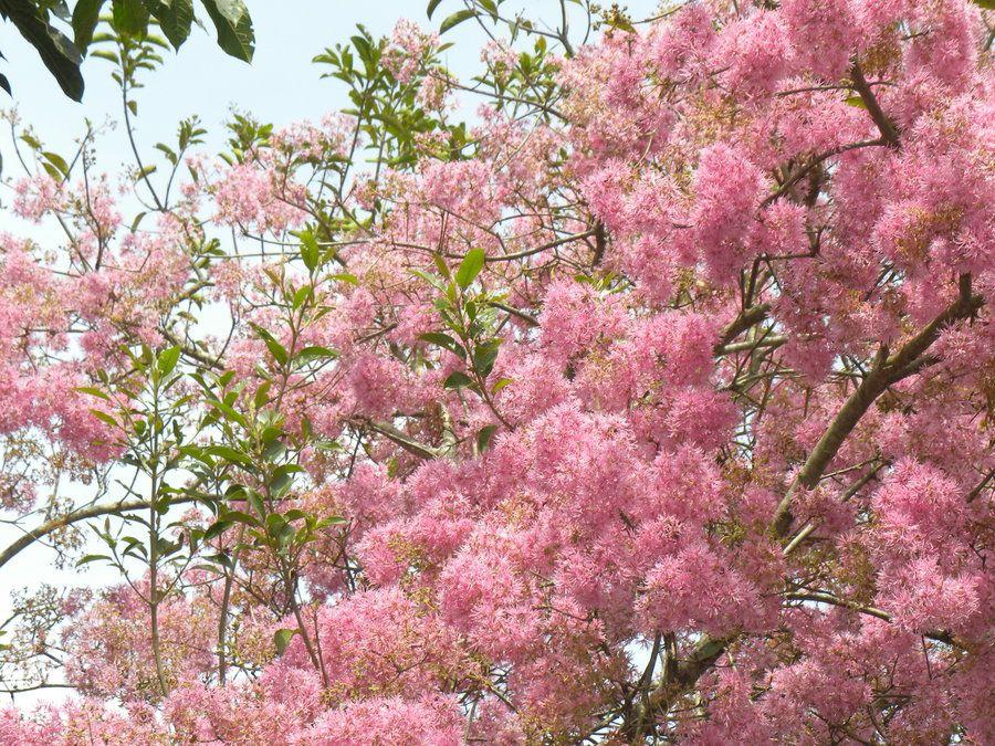 Plant Cherry Plum 250mm Oakville Crimson Spire Bunnings Warehouse Garden Hardware Plants Garden