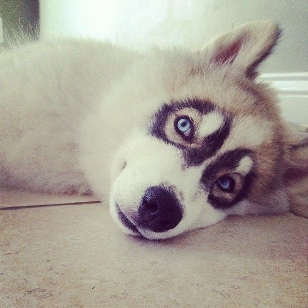 Proof That Huskies Are The Most Photogenic Dogs Husky Puppy Husky With Blue Eyes Animals