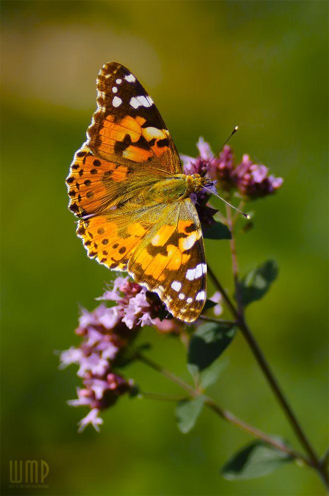 Vanessa cardui Butterfly   Butterfly Garden   Pinterest ...