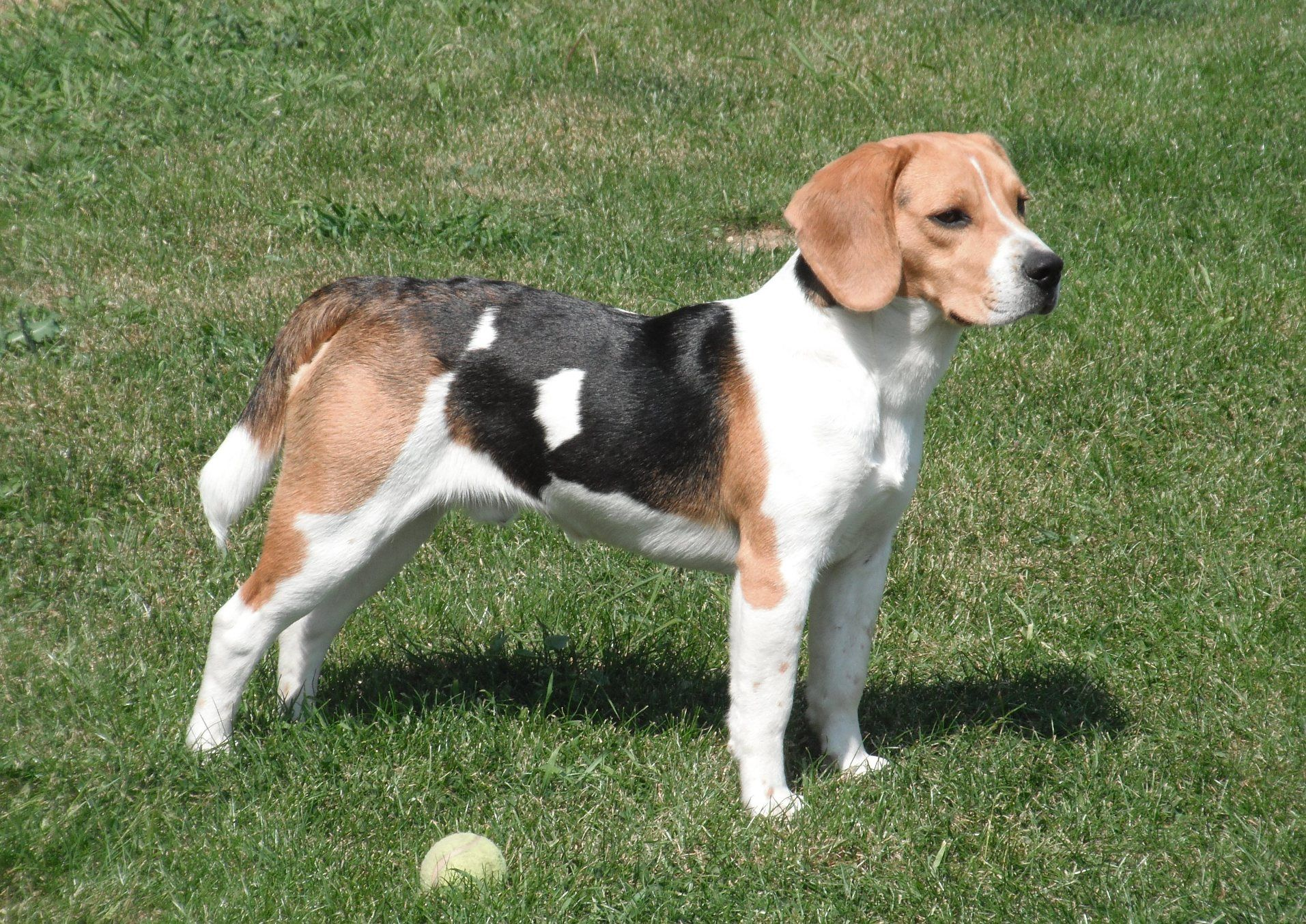 Beagle Dog 2 Beagle Dog Popular Dog Breeds Dog Breeds