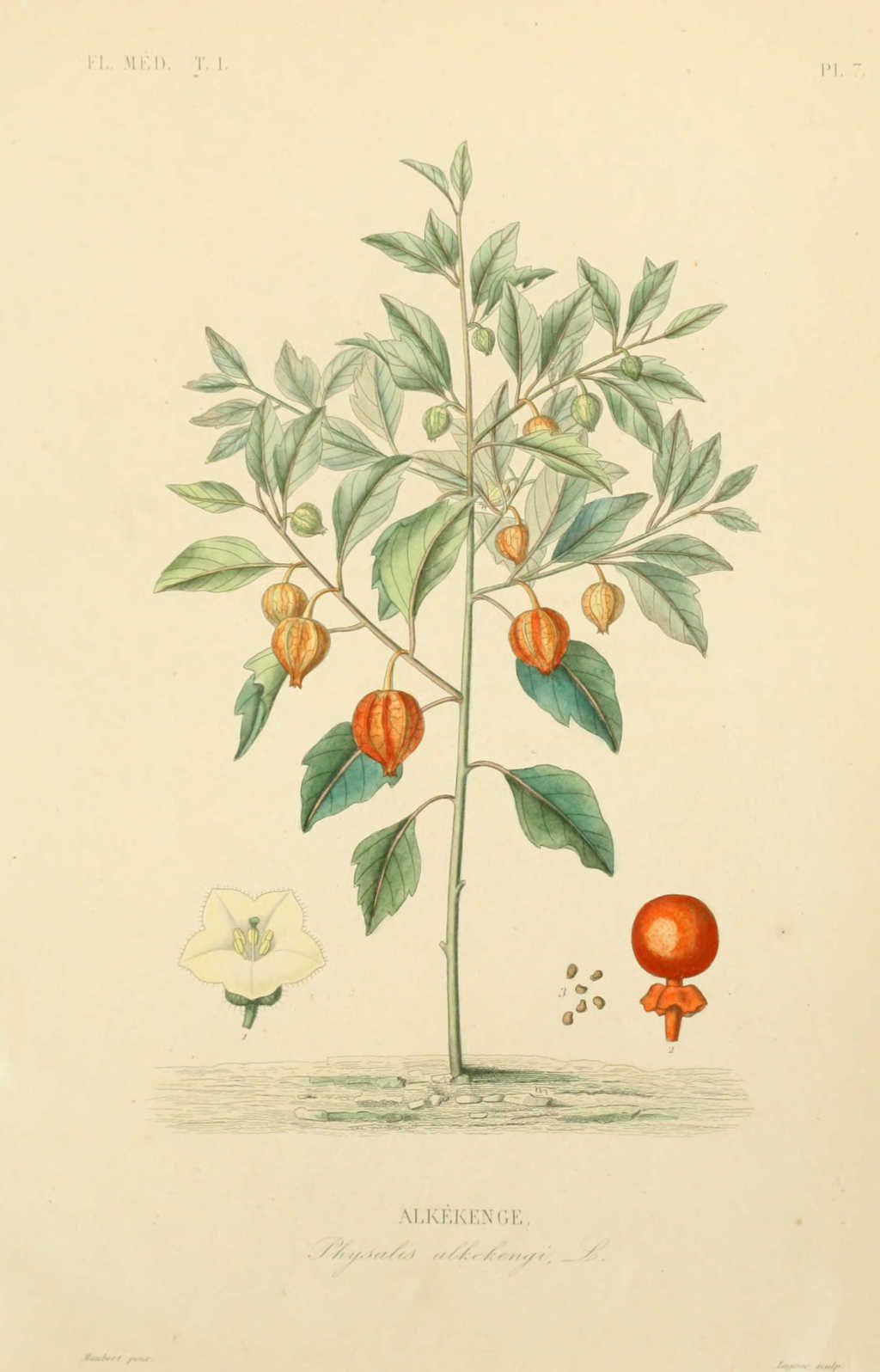 Img Dessins Plantes Medicinales Alkekenge Physalis Alkekengi Jpg