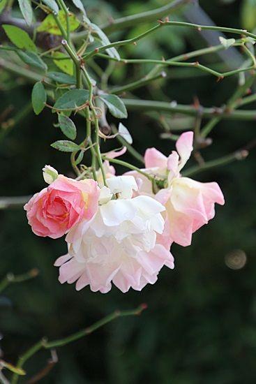 フィリスバイト エキゾチックな花 バラの花 美しい花