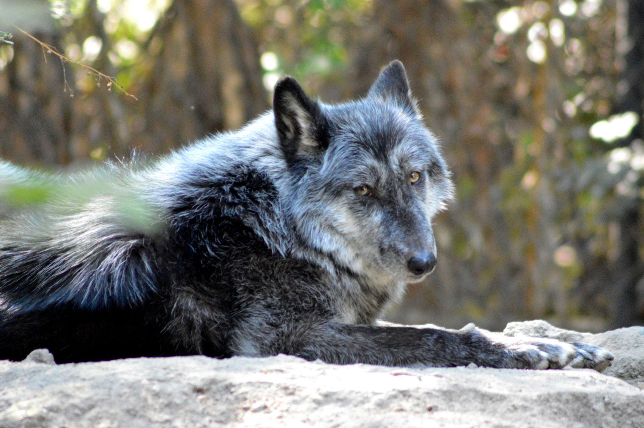 Lobo gris iv wolf dog grey wolf animals