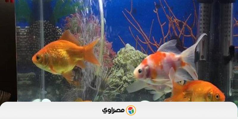 لمحبي أسماك الزينة هكذا تحميها من الموت السريع Fish Pet Pets Fish