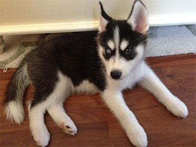 10 Things Only A Siberian Husky Owner Would Understand Loyal Dog