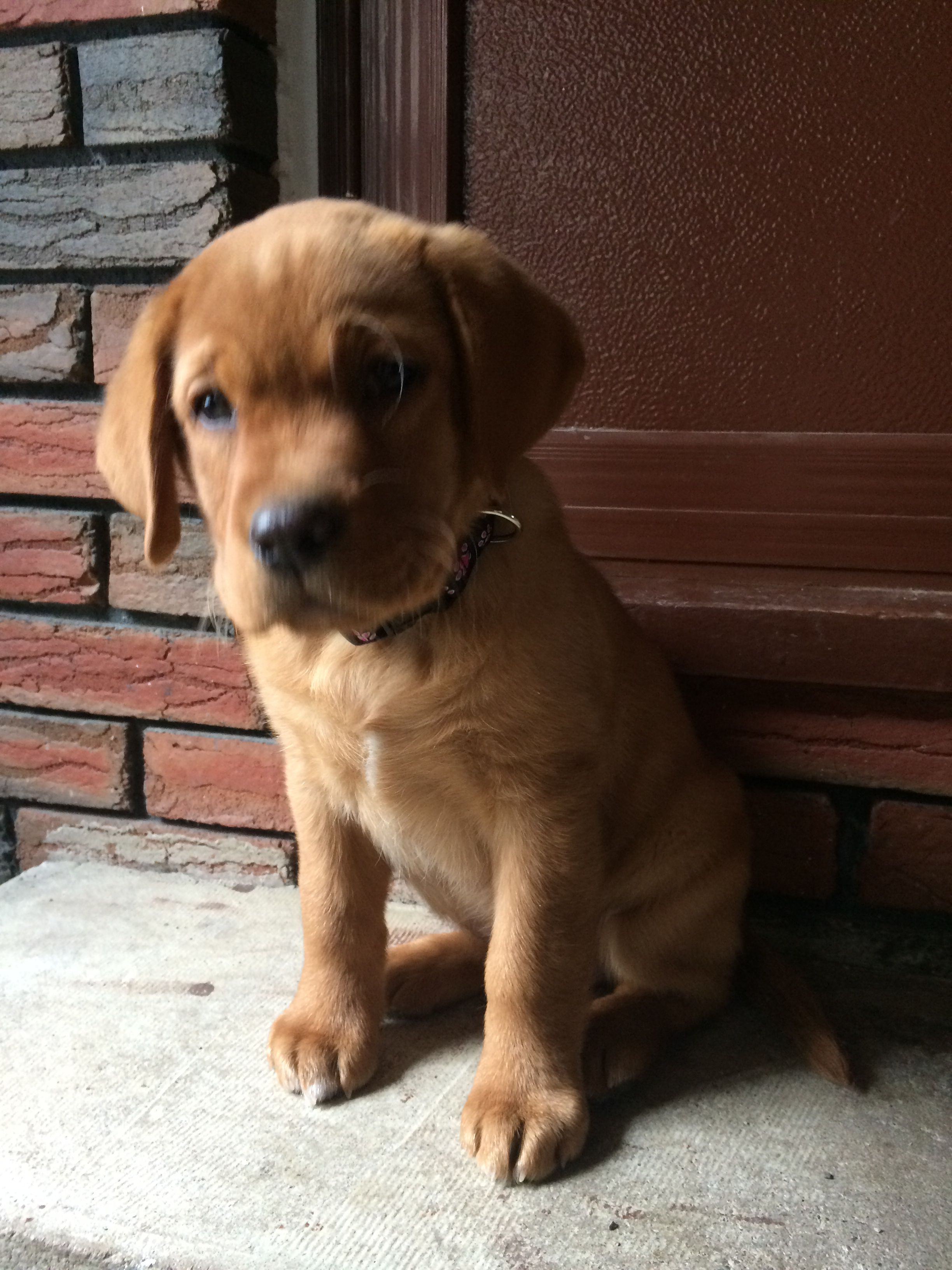 Our Little Red Fox Lab About 2 And A Half Months Lab Puppies