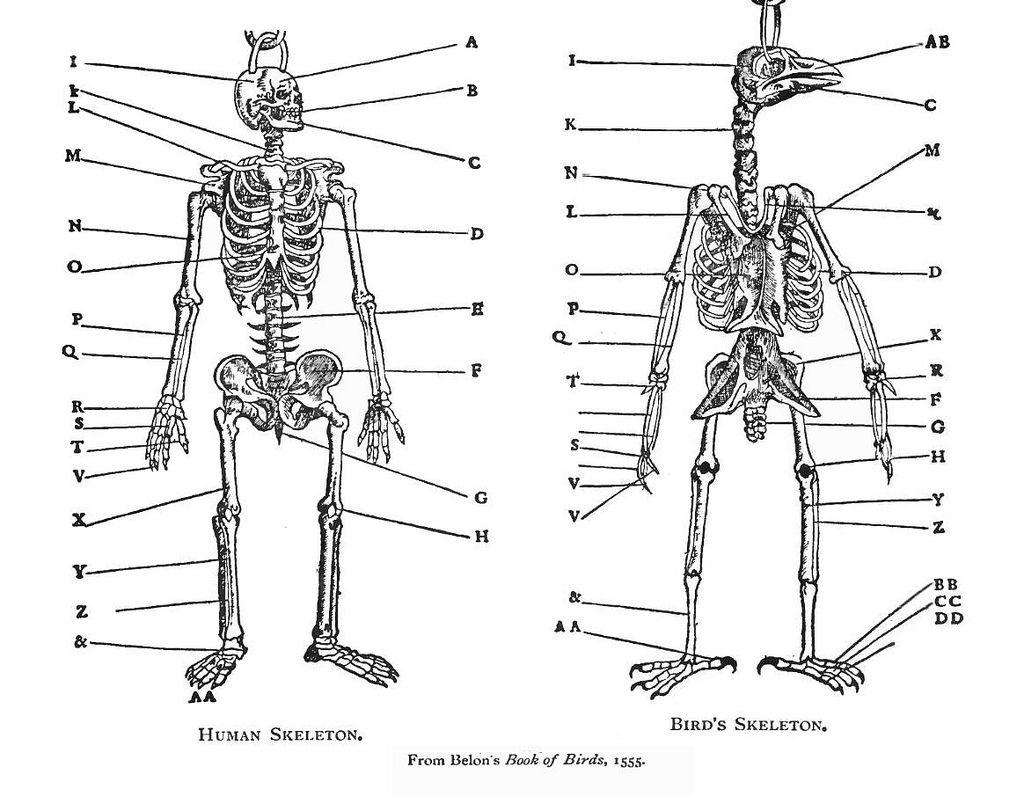 Comparative Anatomy Human Bird Belon 1555 Human Skeleton Anatomy Bird Human Skeleton
