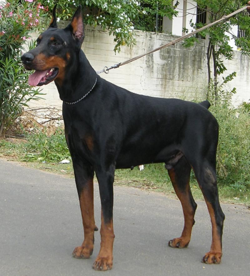 Doberman Dog Puppy Price In India Dog Cats Kannel Seemapuri Pet