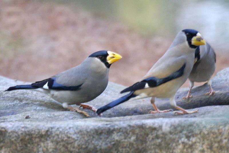 Japanese Grosbeak Birds, Bird photo, Animal
