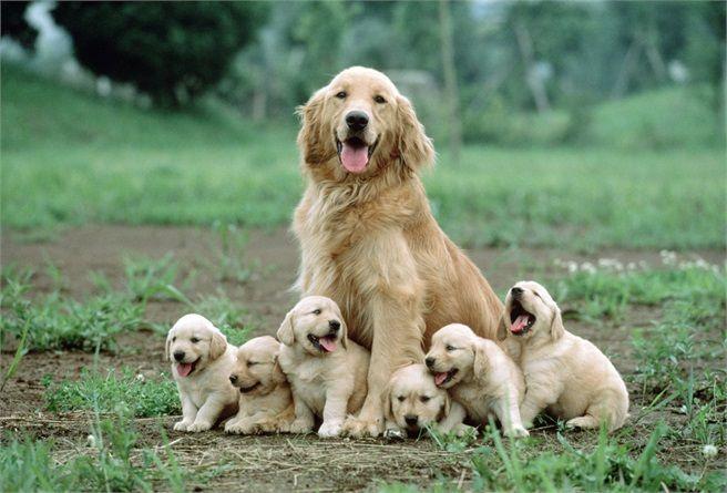 Labrador Bambini ~ Golden retriver il golden retriever è molto simile al labrador: ha