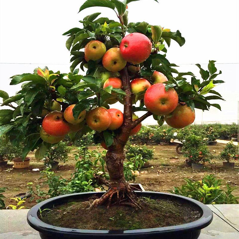 50 pcs very rare dwarf apple tree sweet fruit planted