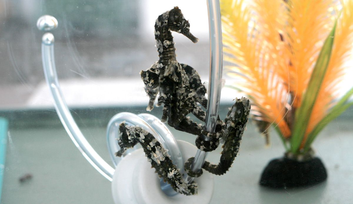 A Modern Guide To Buying Seahorses Saltwater Fish Tanks Cool Fish Tanks Salt Water Fish