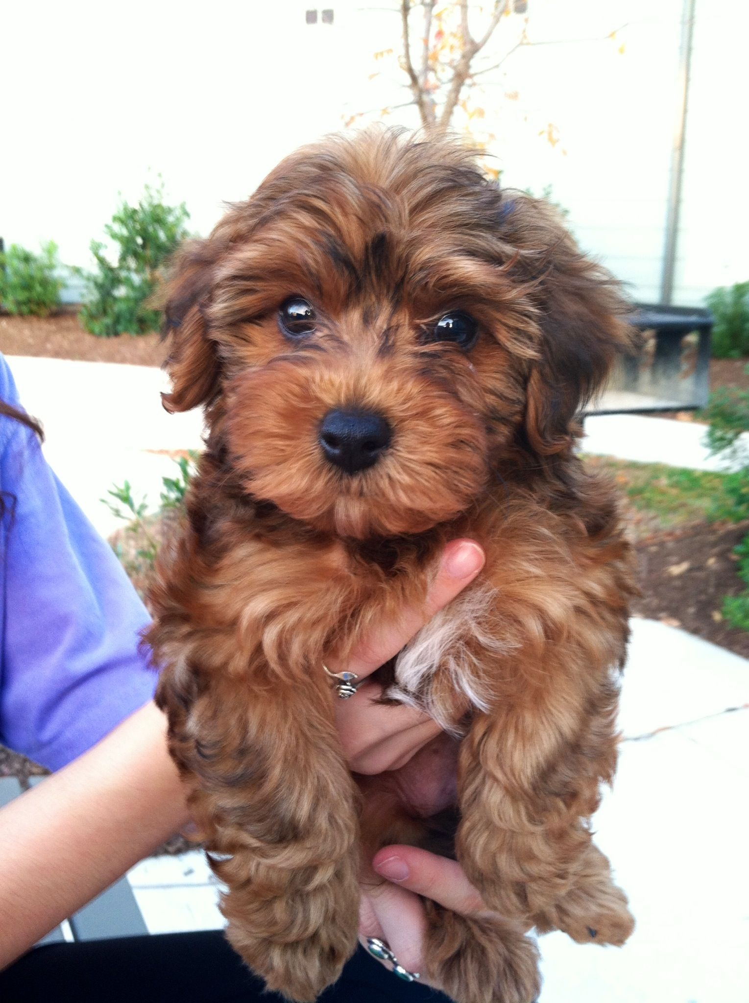 Nice Adult yorkie poo picture are not