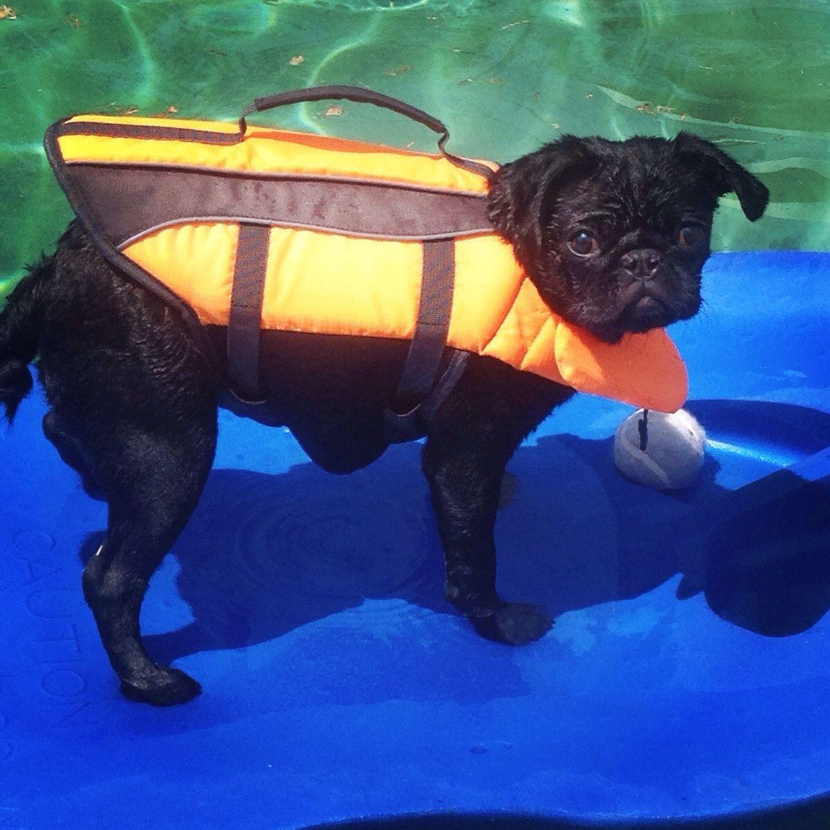 Surfing Pug DogsPugs Pinterest Dog - Brandy the award winning surfing pug