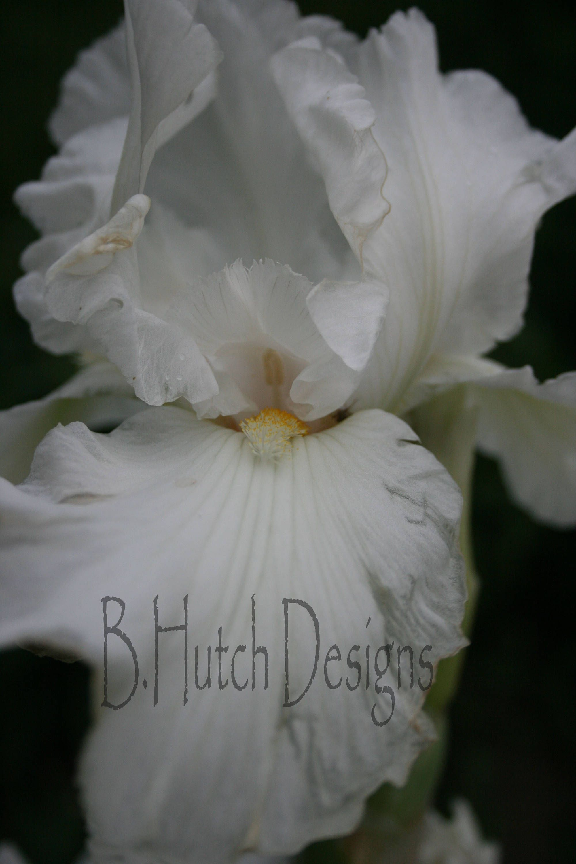 Beautifully Elegant White Iris Flower Photography Print Digital