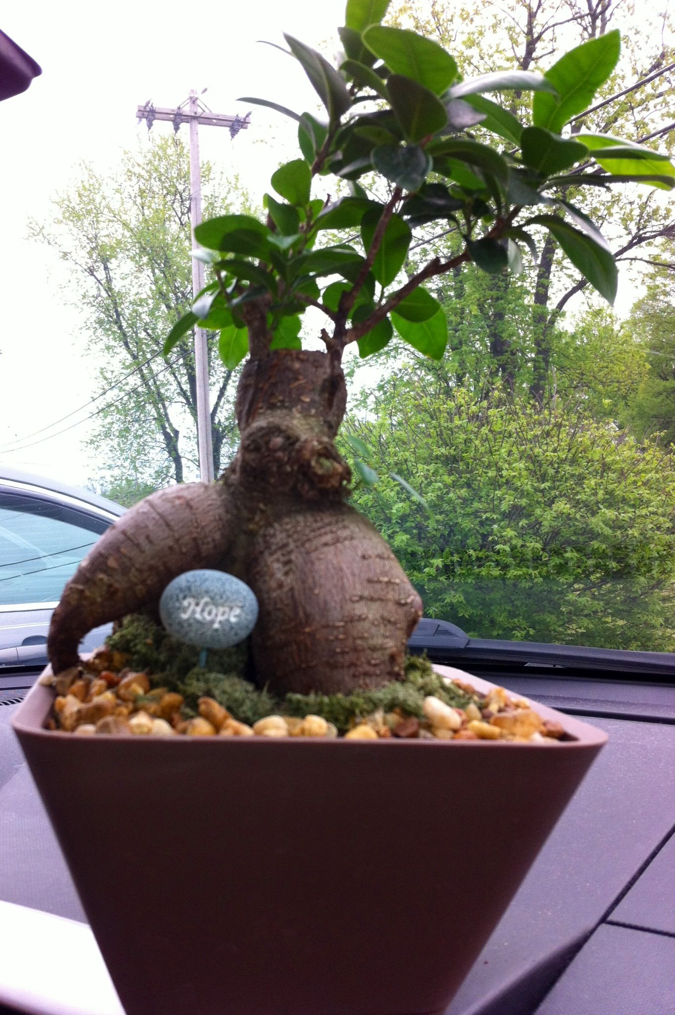Just Bought This @ Walmart Yay Bonsai Tree!