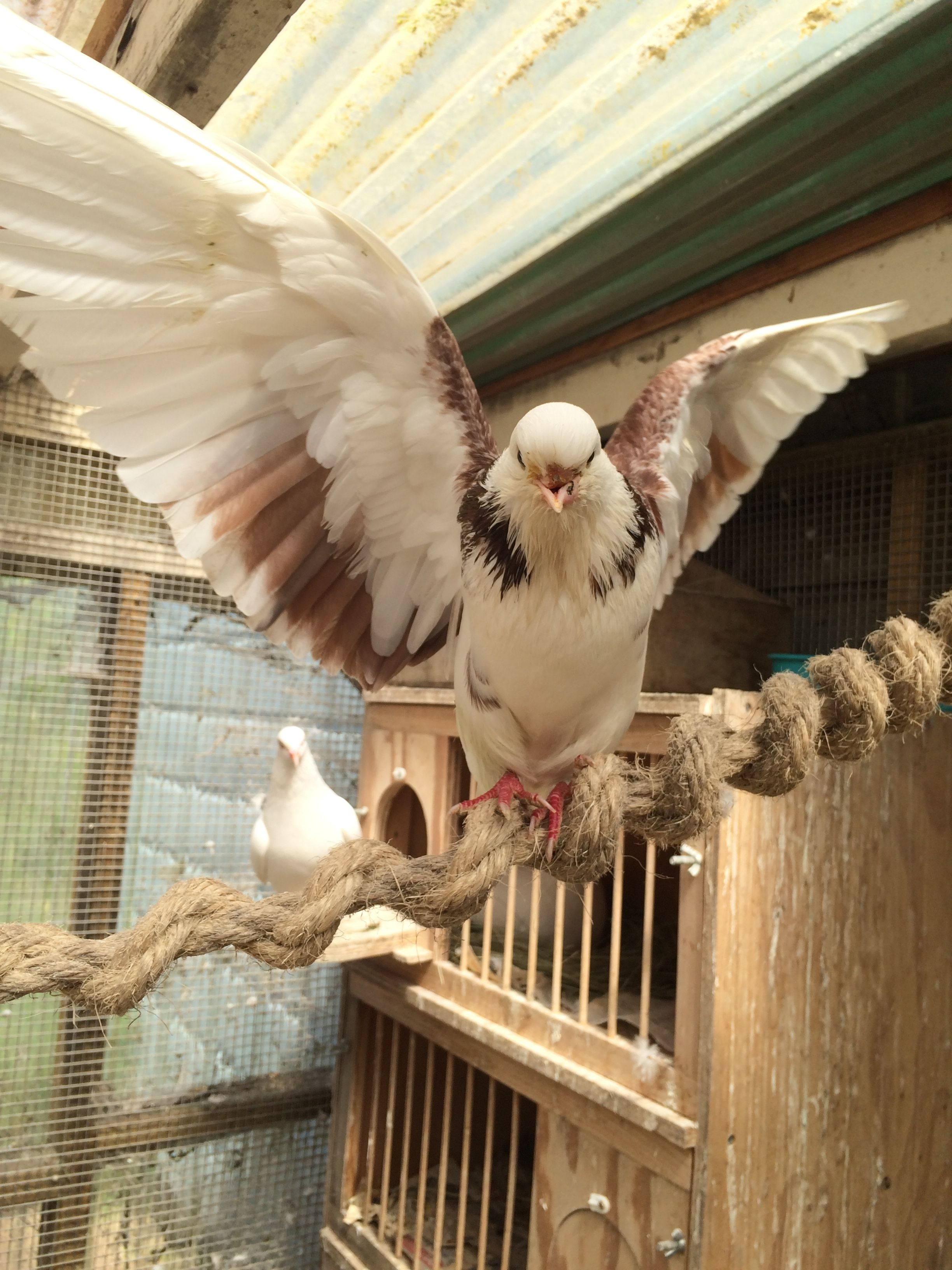 Fleetwood is happier, showing off his Persian High Flyer wings.  Click through to the Palomacy Pigeon and Dove rescue site.