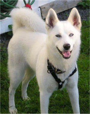 Siberian Husky White Siberian Husky Siberian Husky Husky Dogs