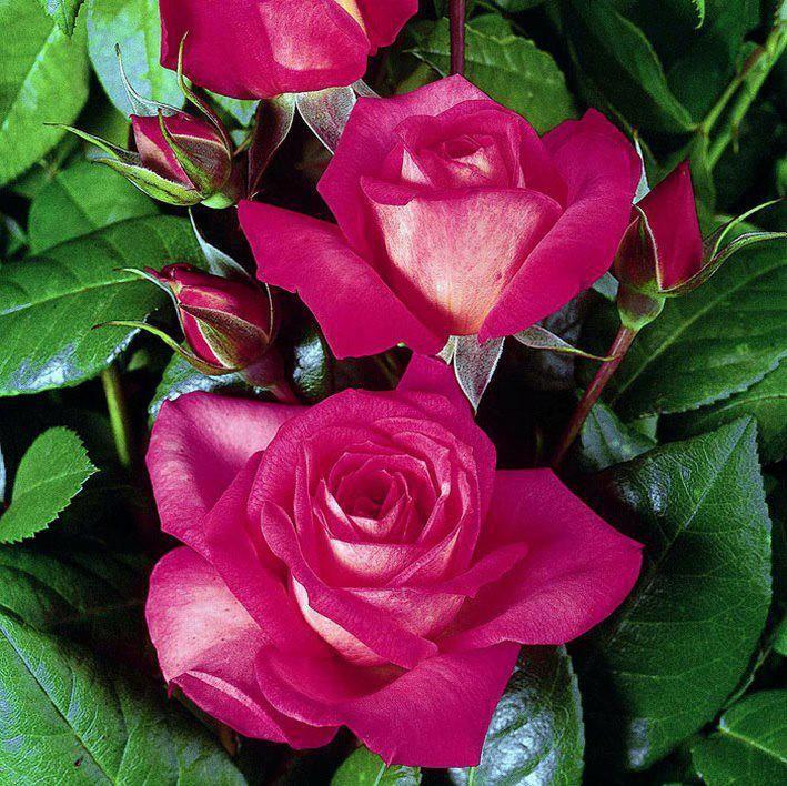 ***Entre Rosas***