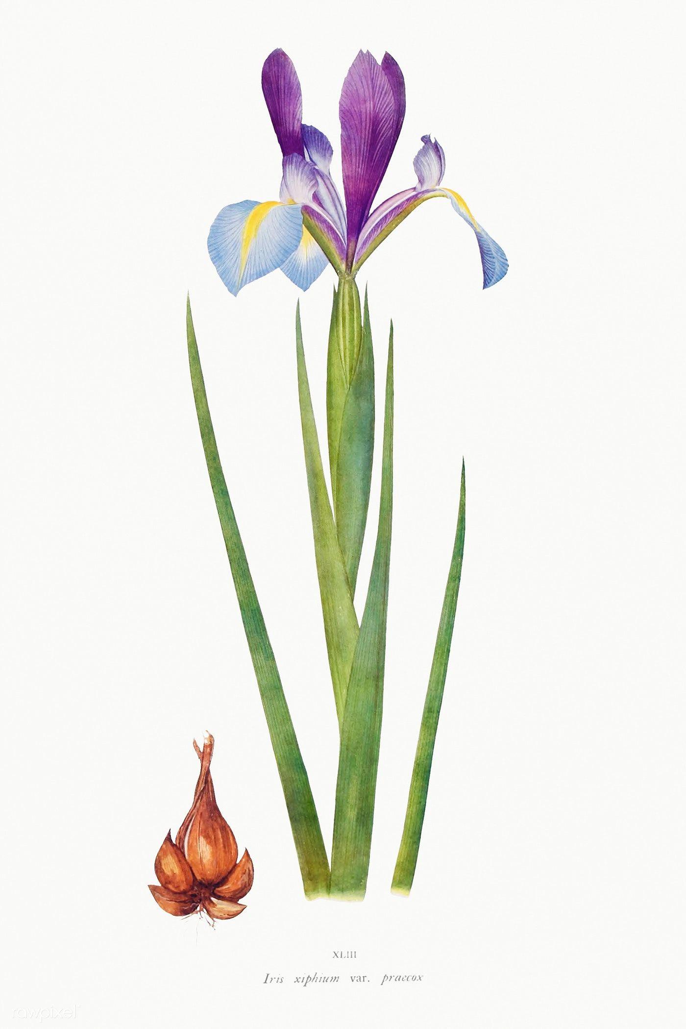 Iris 03 Handmade Flowers Paper Paper Flower Patterns Flower Template