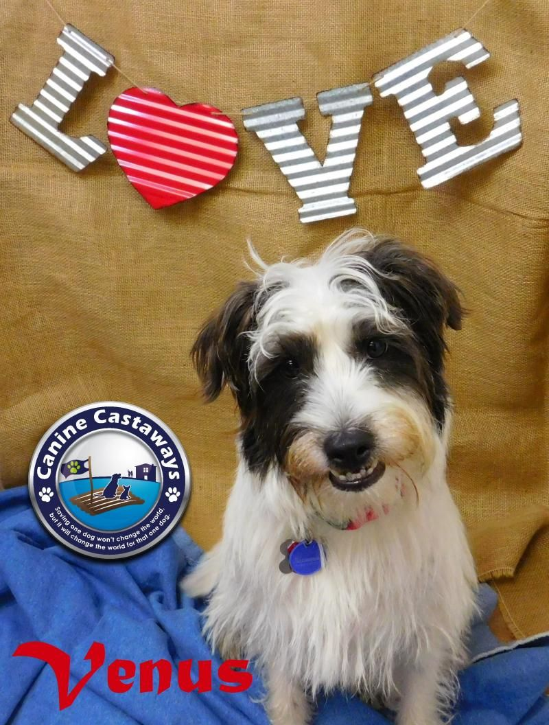 Adopt Venus on Tibetan terrier, Adoption, Terrier mix dogs