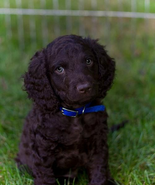 American Water Spaniel. Happy, eager, and charming; aloof ... American Water Spaniel Dogtime