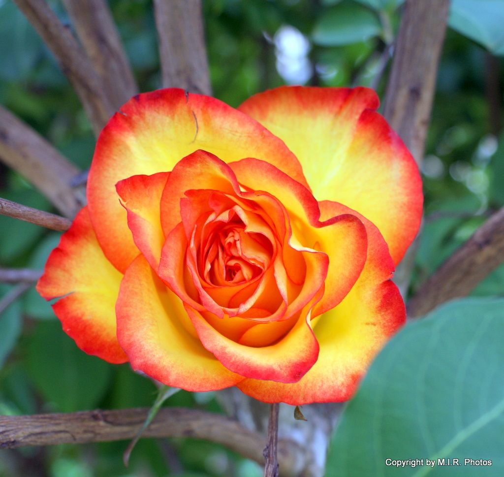 Pin by Brian Mohs on BJM Roses Yellow rose meaning