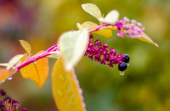 Autumn Berries Covered in Raindrops among New by AshleyGreenPhoto