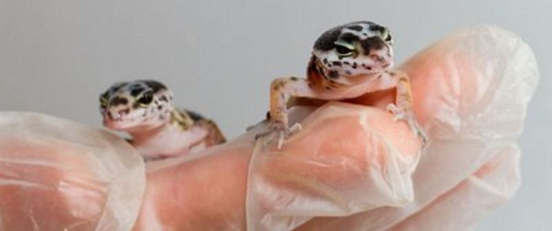 Leopard Gecko Eggs Incubation Breeding Leopard Geckos Pinterest