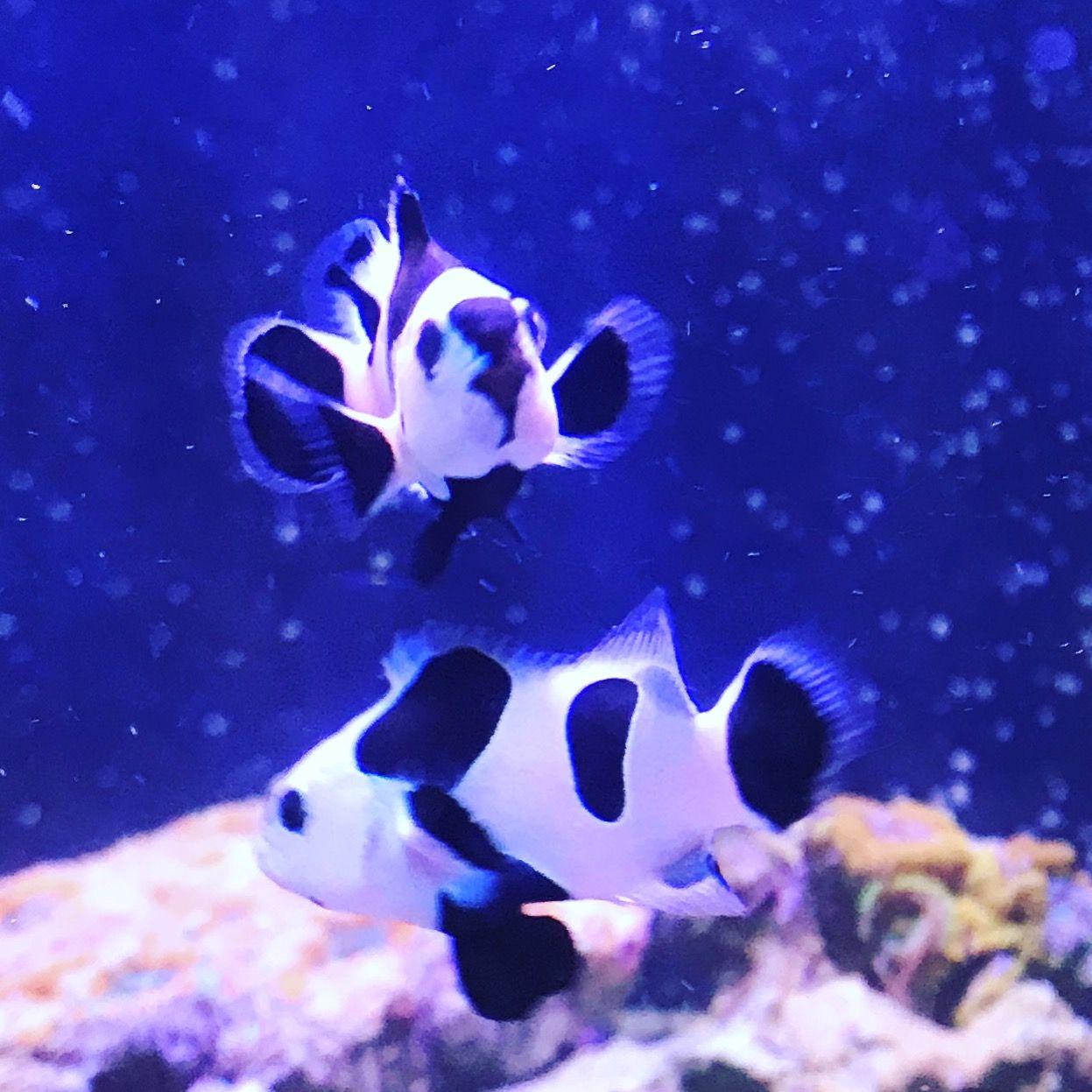 Black Storm Clowns Clown Fish Marine Tank Fish Pet