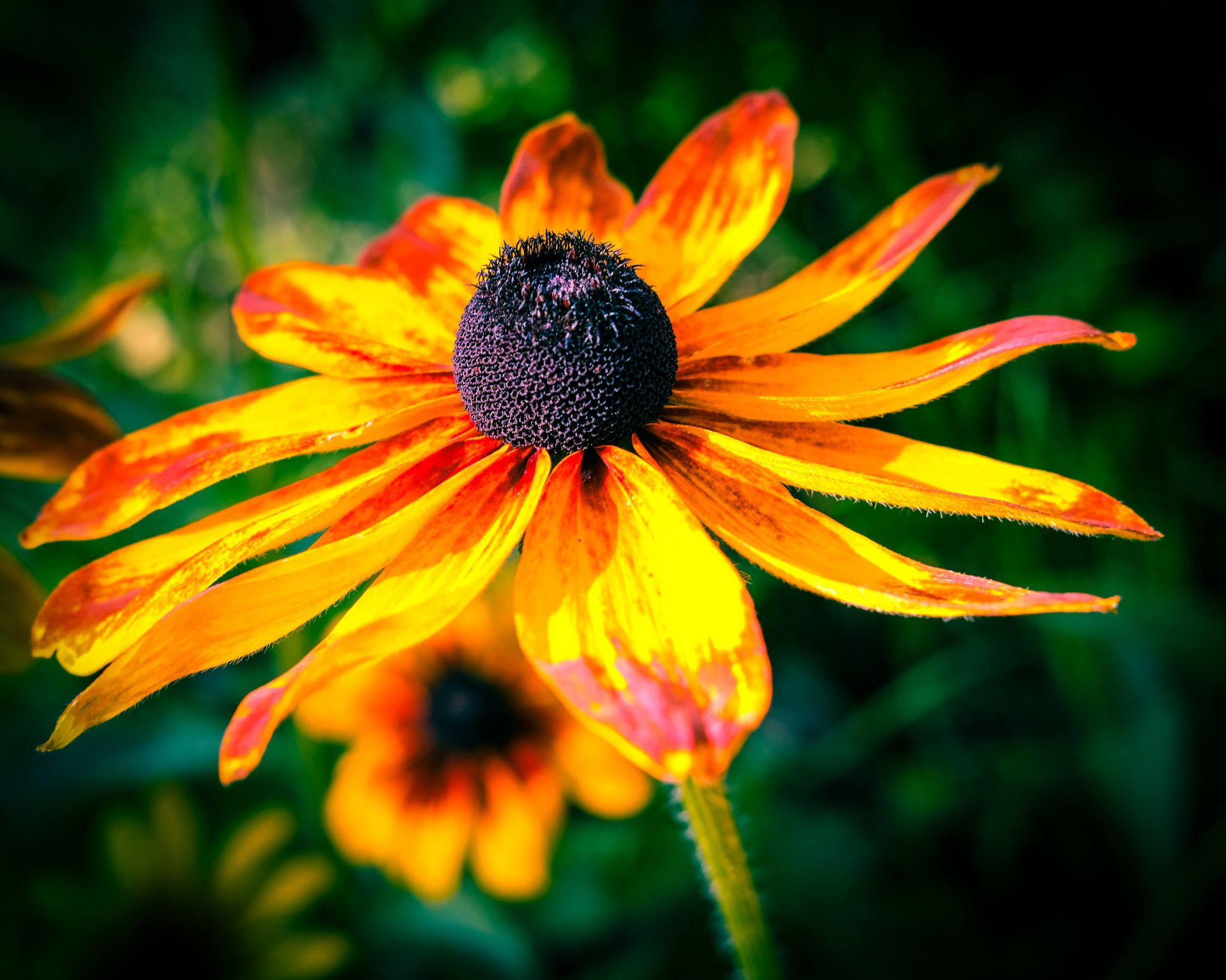 Lomo Blackeyed Susans, Duluth Wild flowers, Plants, Flowers