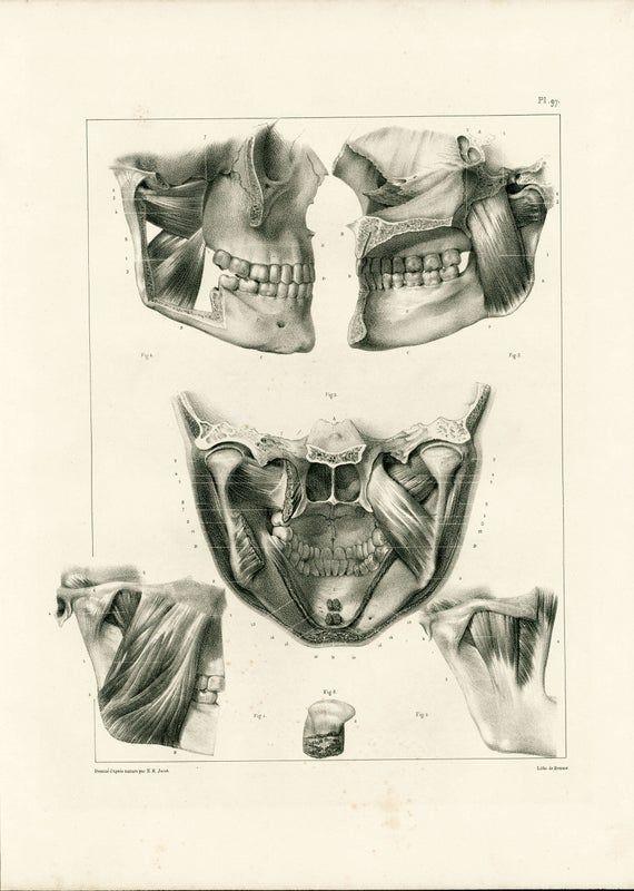 1836 Antique Mastication muscles XL Print Anatomy illustration Poster Bourgery Medicine Wall Art 49c2d534e85774329fbbdf5cbe8186f1