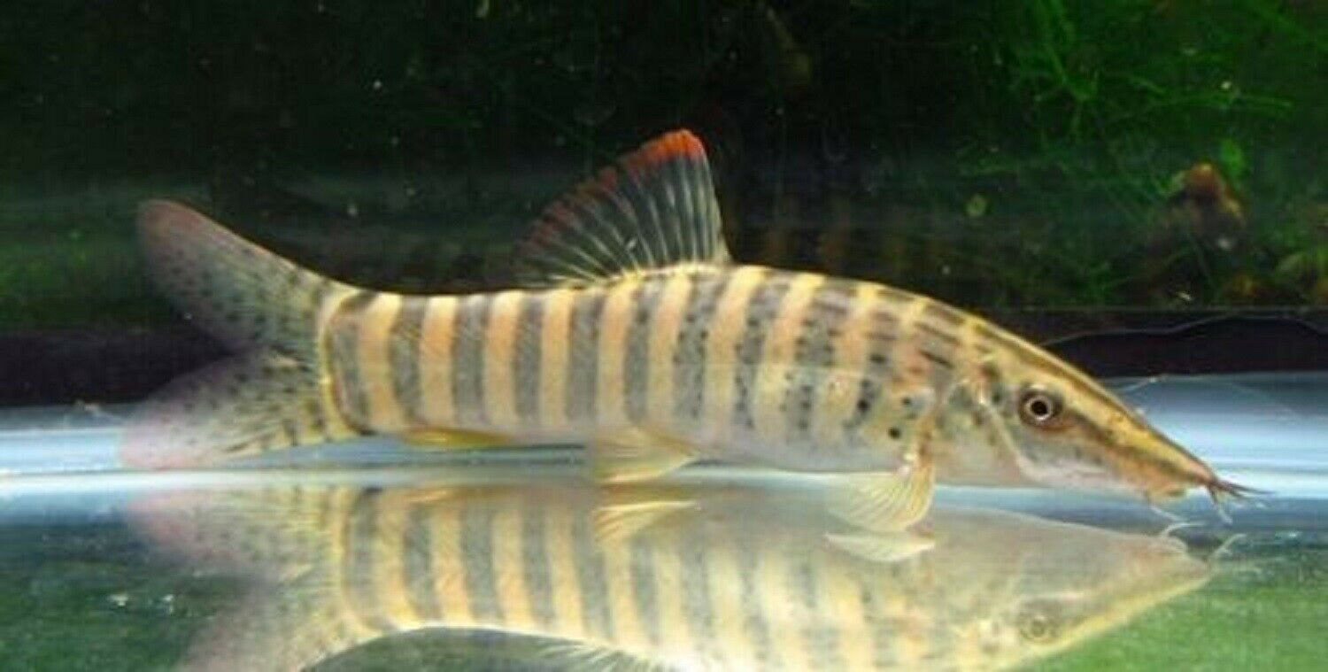 Tiger Botia Loach Fish Loaches Make Up A Group Of Largely Bottom Dwelling Fish From The Families Balitoridae Botii Aquarium Fish Swordtail Fish Fish For Sale