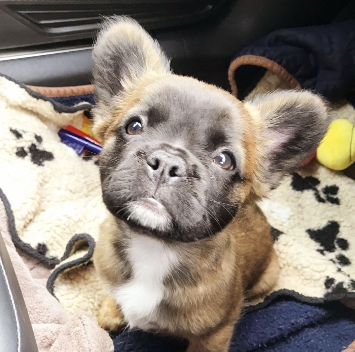 Peaches Is A Long Haired Kennel Club Registered Purebred French Bulldog She Is The Result Of Her Super Cute Puppies Cute French Bulldog French Bulldog Puppies