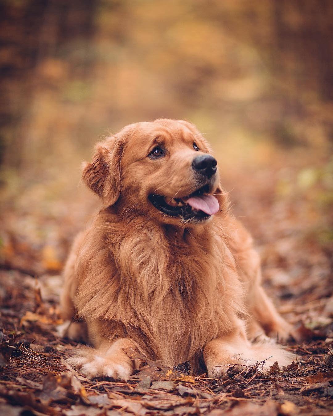 Golden Retriever Dogs Cute Dogs Cute Puppies