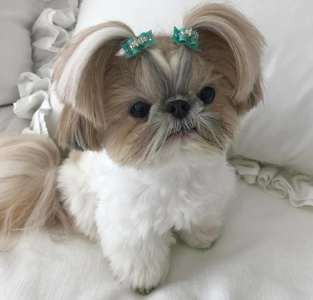 Pin By Anna Uballe On Shih Tzu Dogs Other Cute Dogs Shih Tzu Puppy Shih Tzu Dog Shih Tzu