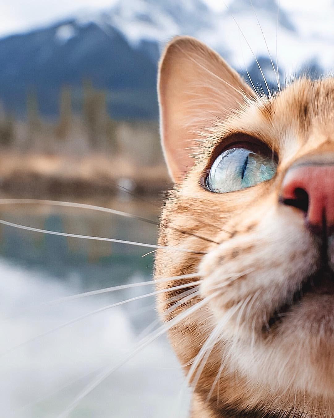 Reposting sukiica Bengal cat personality, Cats, Bengal cat