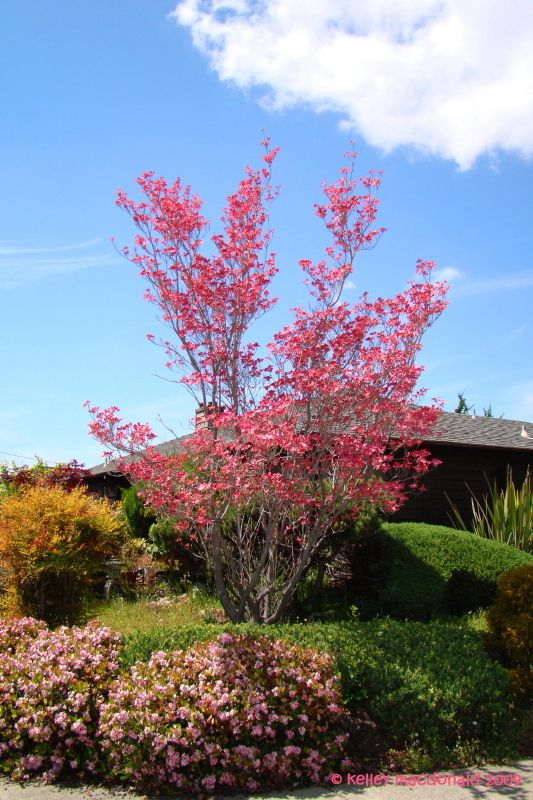 full size picture of red flowering dogwood cherokee chief i cornus