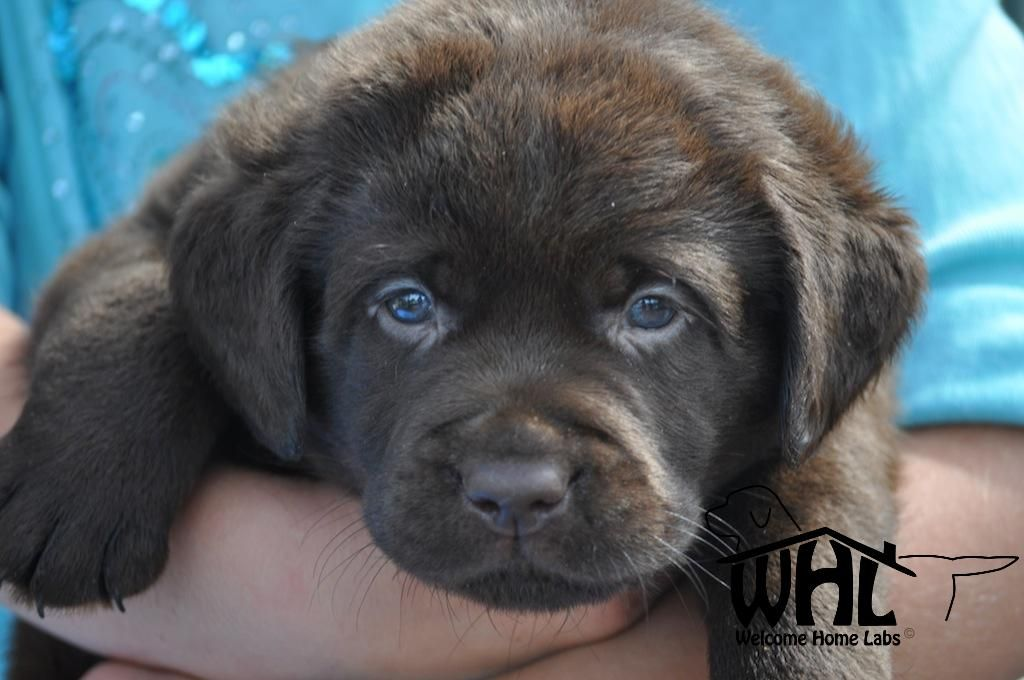 Pin By Natalie Aguilar On Puppies Lab Puppies Labrador Puppies
