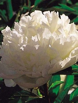 An old and reliable variety with loose round white flowers that an old and reliable variety with loose round white flowers that are tinted with yellow at the base of the petals blooms for ages fragrant an excell mightylinksfo