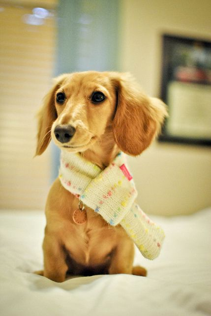 Wearing My Scarf Cute Little Puppies Weenie Dogs Dachshund Love