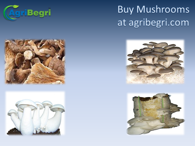 By Photo Congress || Buy Milky Mushroom Spawn Online