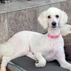 Bella 1 Year Old Female Poodle Standard In North Carolina