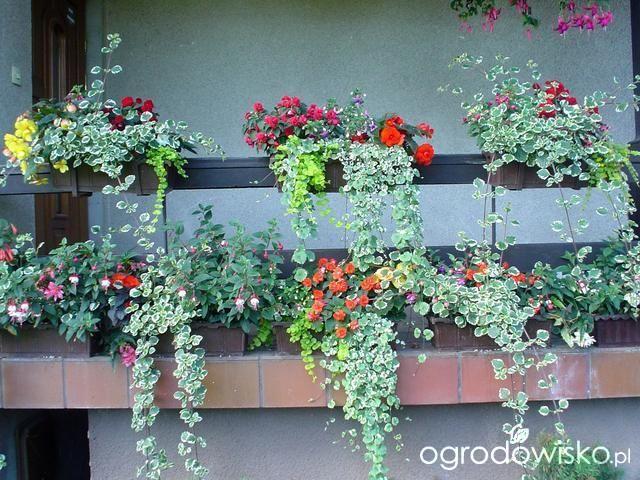 Kompozycje Na Balkony Parapety I Balustrady Strona 6 Forum Ogrodnicze Ogrodowisko Floral Floral Wreath Plants