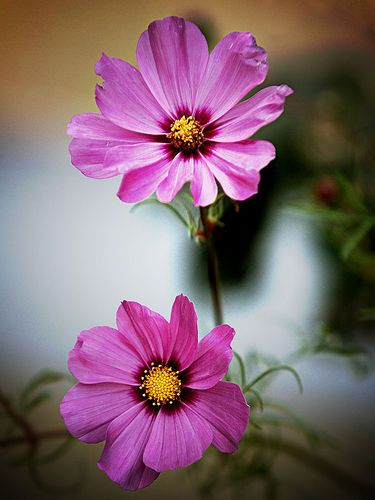 The Cosmo Flower Is Mostly Thought To Be The Symbol Of Order Peace And Modesty When Given As A Gift To A R Cosmos Flowers Flower Meanings Flowers Photography